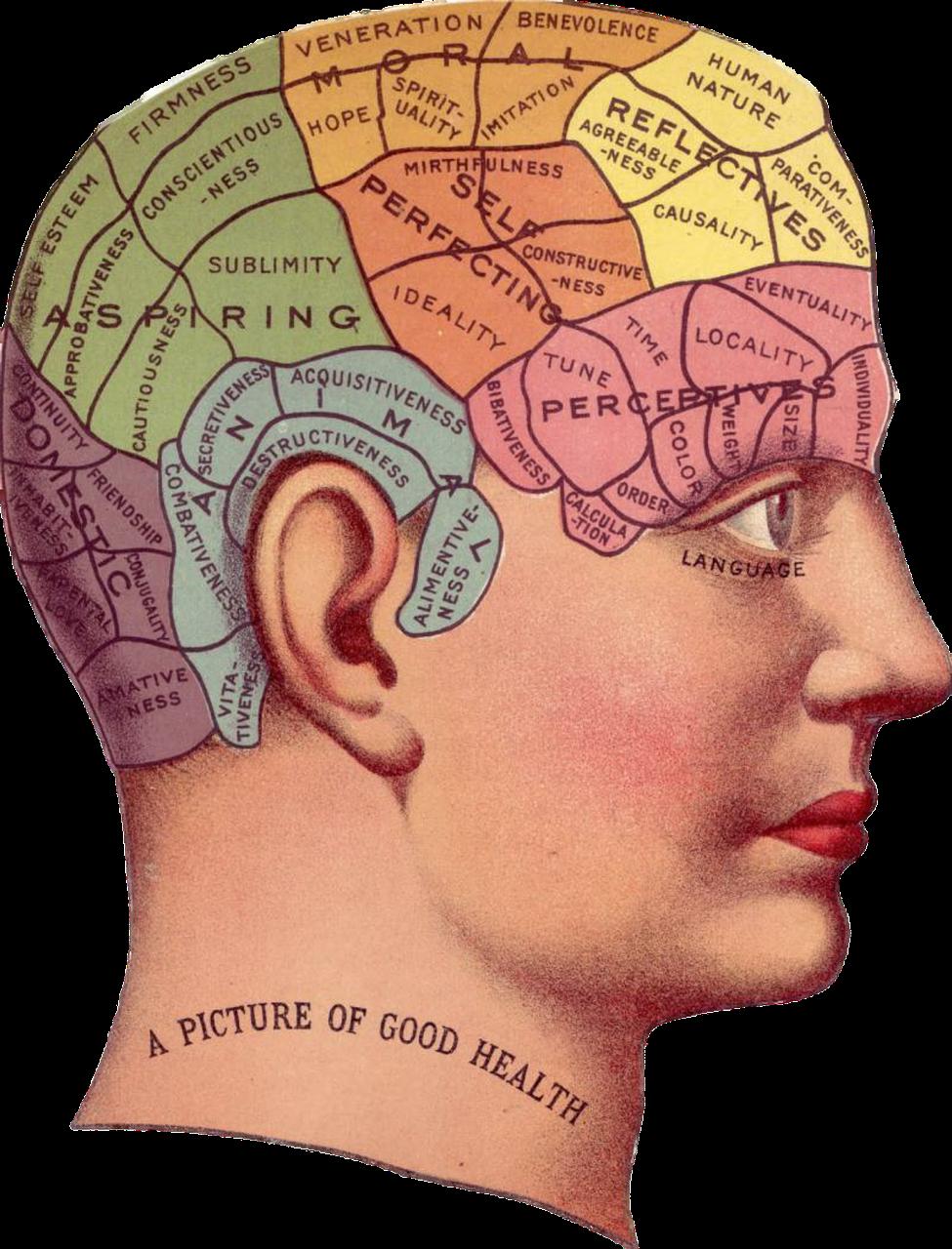 שלבי המוח